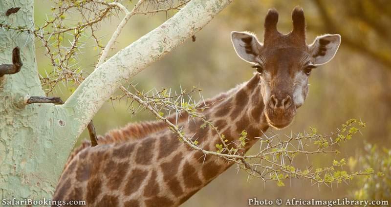 Southern giraffe browsing from a yellow fever tree (Giraffa camelopardalis giraffa), Zulu Nyala Game Reserve, South Africa
