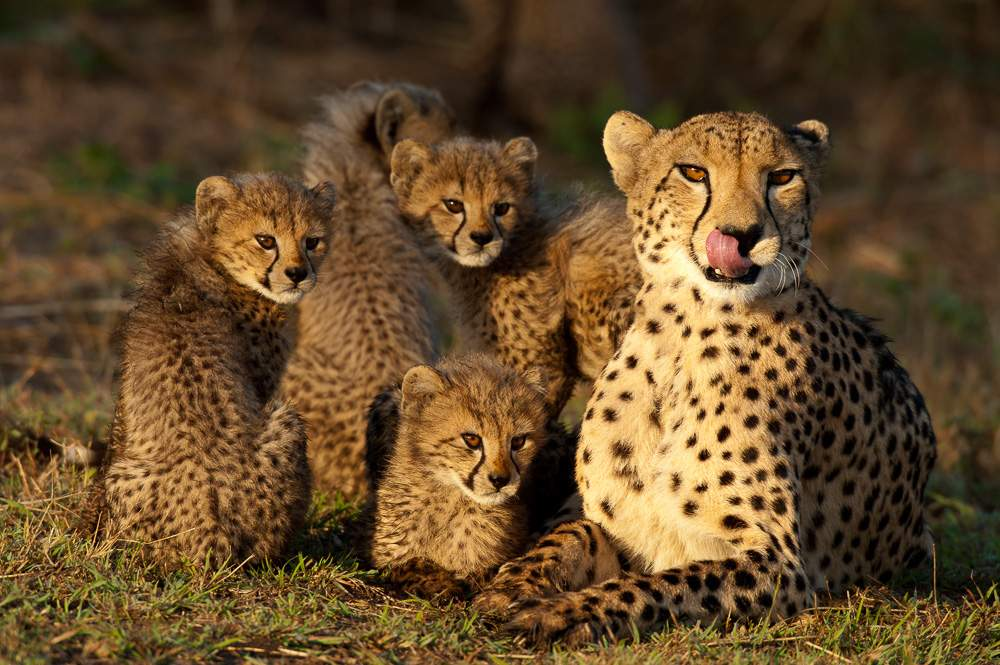 Cheetah with cubs (Acinonyx jubatus), Zulu Nyala Game Reserve, South Africa