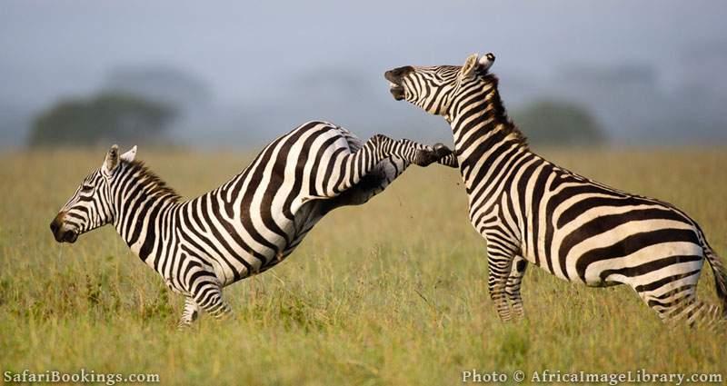 Burchell's zebras fighting (Equus burchellii), Ol Pejeta Wildlife Conservancy, Laikipia, Kenya