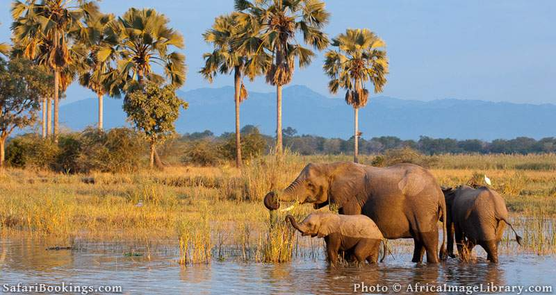 African elephants (Loxodonta africana africana) in the Shire river, Liwonde National Park, Malawi