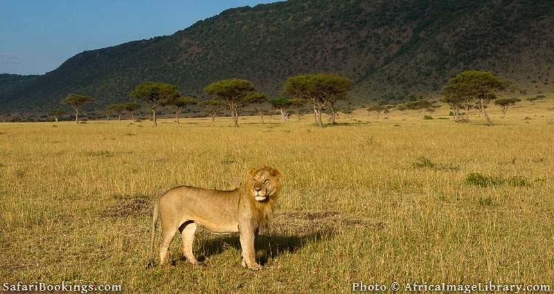 Lion (Panthero leo) in front of the Oloololo escarpment, Maasai Mara National Reserve, Kenya