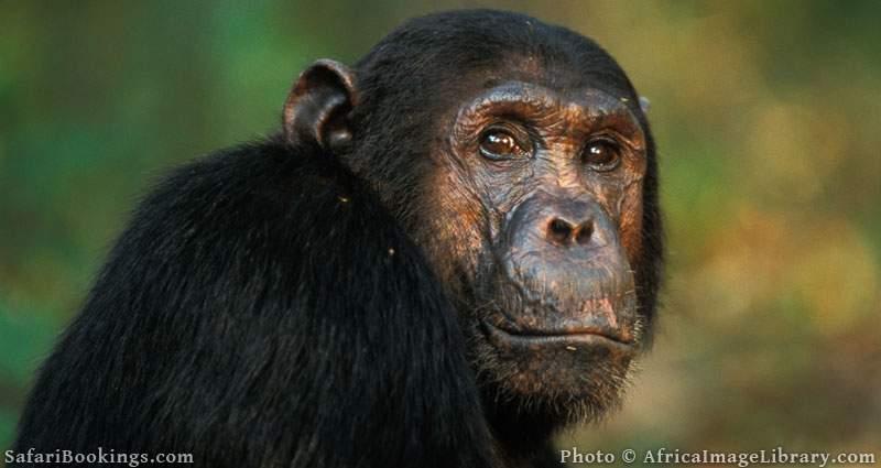 Chimpanzee, Pan troglodytes, Mahale Mountains National Park, Tanzania