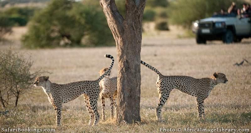 Tourists watching Cheetah on safari (Acinonyx jubatus), Mashatu Game Reserve, tuli block, Botswana