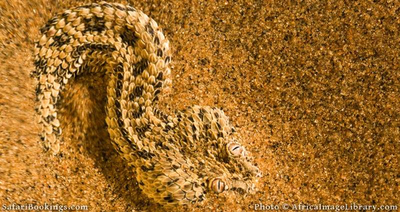 Peringuey's adder (Bitis peringueyi) is endemic to the Namib desert. It often buries itself into the sand with only the eyes exposed to ambush small lizards , Namib desert, Namibia