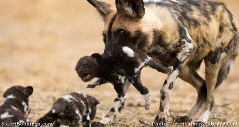 Wild dog carrying a pup to the den (Lycaon pictus), Central Kalahari, Botswana