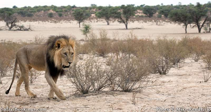 Black Maned Kalahari Lion at Kalahari Desert