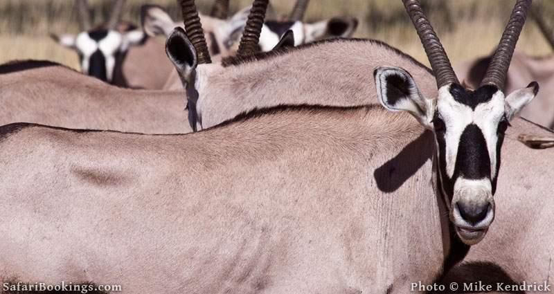 Gemsbok in the Kalahari Desert