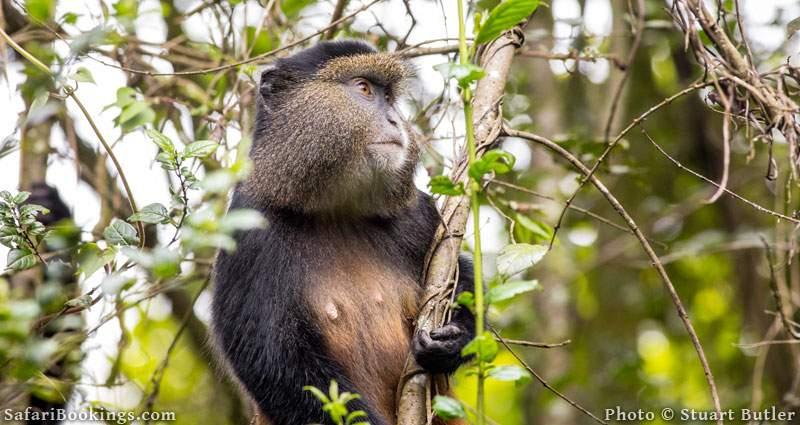 Golden Monkey in tree