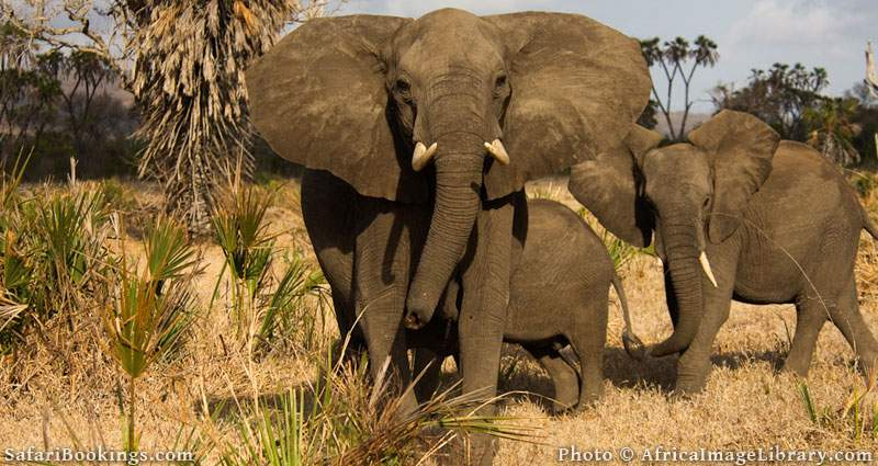 Elephants in Selous Game Reserve