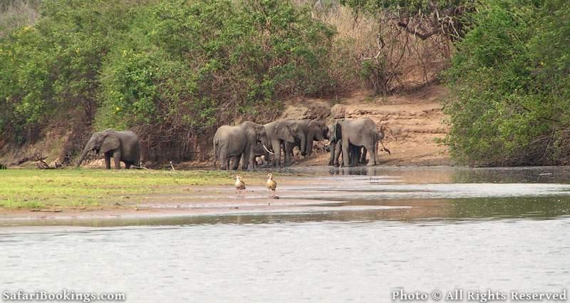 Elephants at Rufiji River