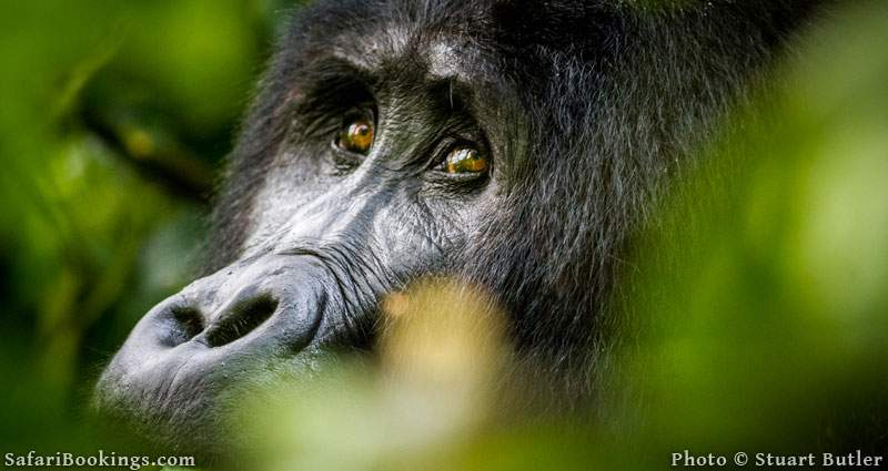 How to Habituate a Mountain Gorilla