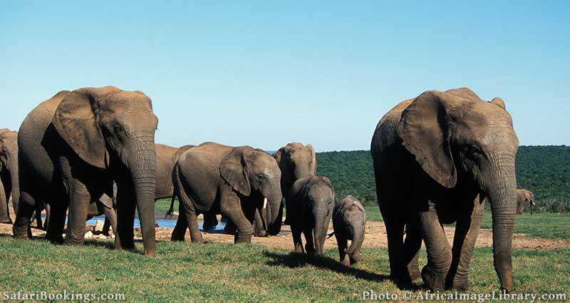 Elephants at Addo Elephant National Park