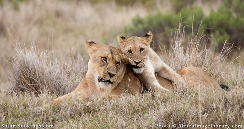 Lions at Shamwari Private Game Reserve