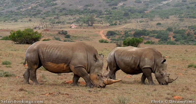 White rhinos at Amakhala Game Reserve