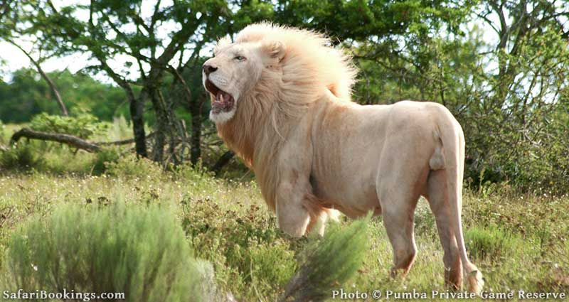 White and tawny colored lion at Pumba Private Game Reserve