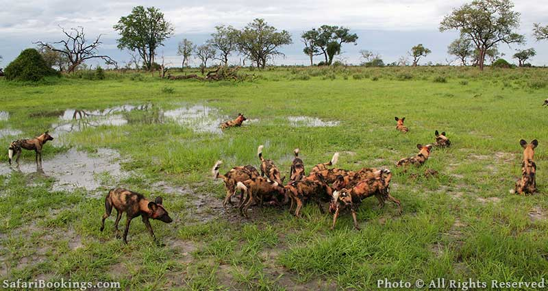 Pack of wild dogs at Kwando Concession