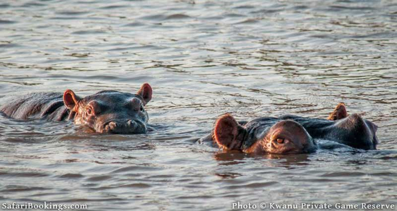 Hippos at Kwantu Private Game Reserve