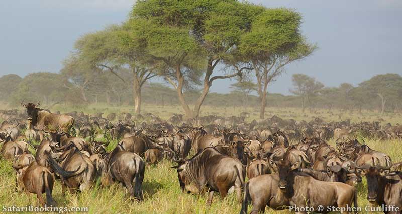 Wildebeest in Serengeti National Park in Tanzania