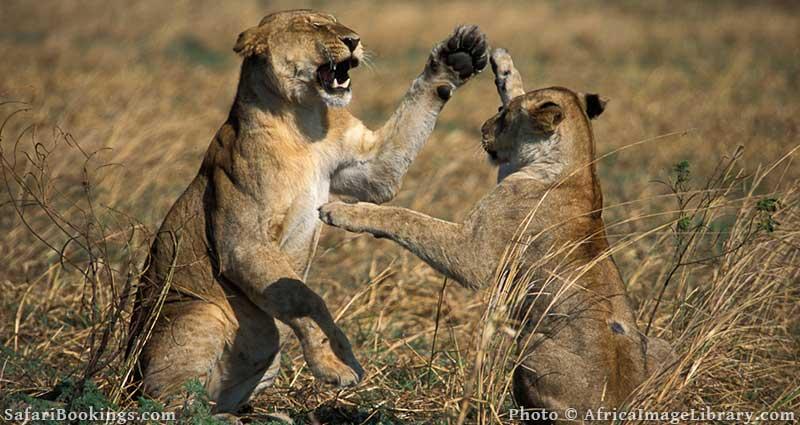 Lions playing in Katavi National Park, Tanzania