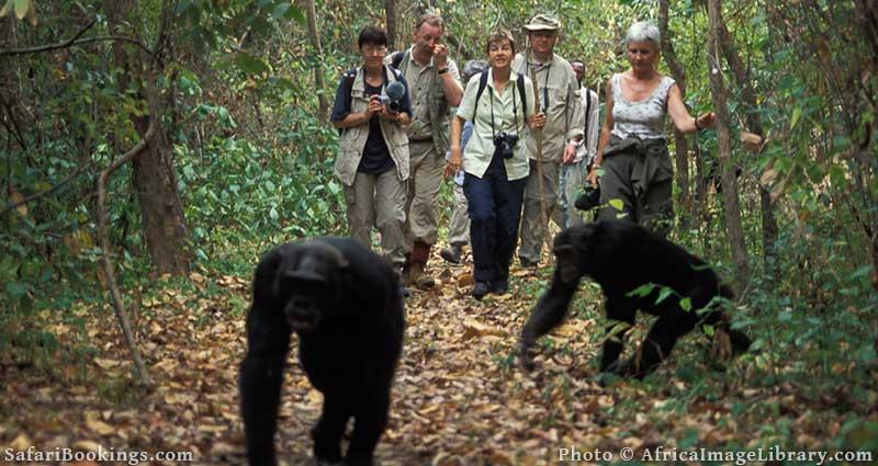 Chimp trekking in Mahale Mountains, Tanzania