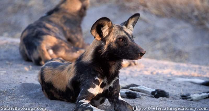 Wild dogs at Ruaha National Park, Tanzania