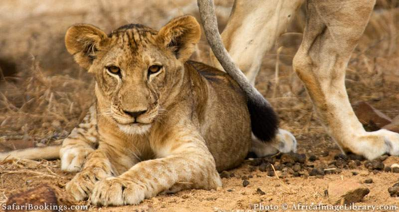 Lions in Selous Game Reserve, Tanzania