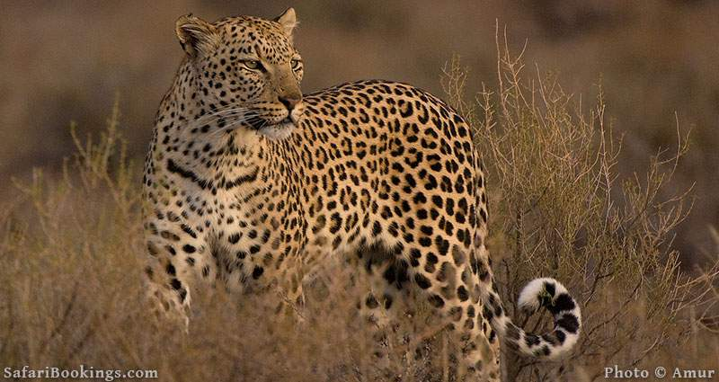Leopard in Kgalagadi Transfrontier Park in South Africa