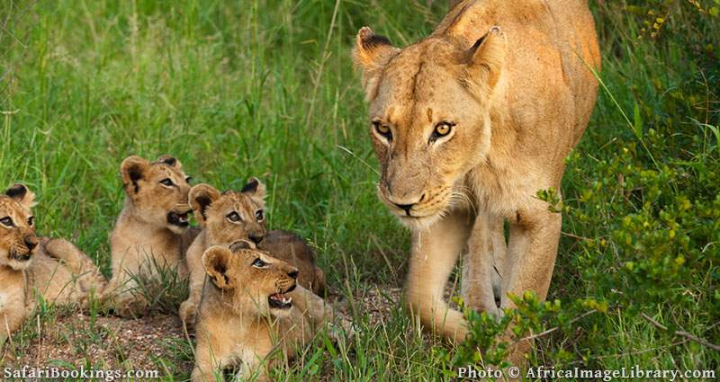 Lioness with cubs in Kruger National Park, South Africa