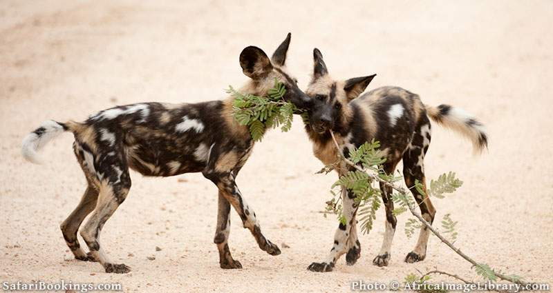 Wild dogs in Kruger National Park, South Africa