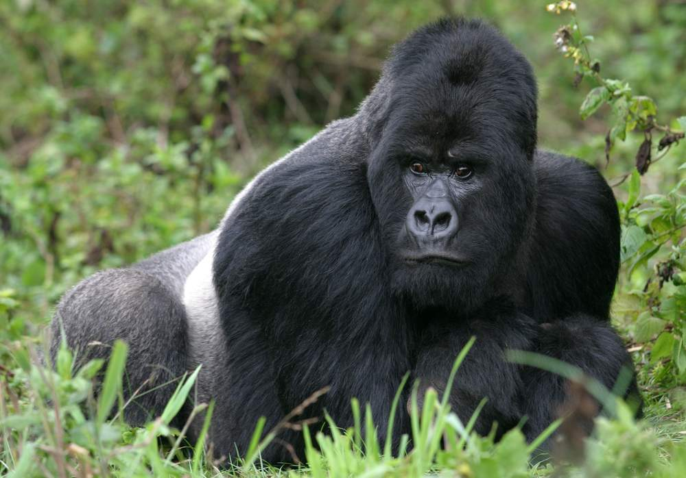 Silverback mountain gorilla in the forest