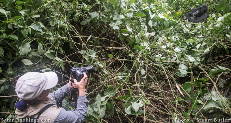 Gorilla tracking and habituation experience