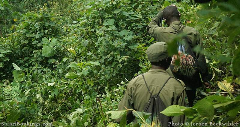 Mountain Gorilla trekking in Bwindi National park, Uganda