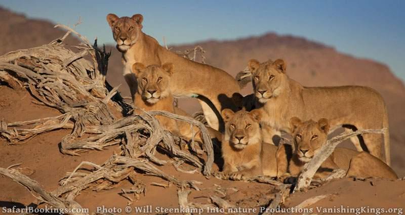 Desert-Adapted Lions in Namib Desert