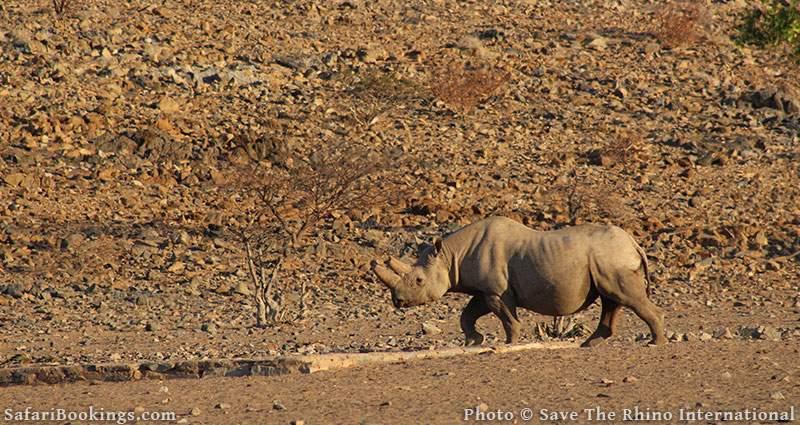 Black rhino in Namib desert