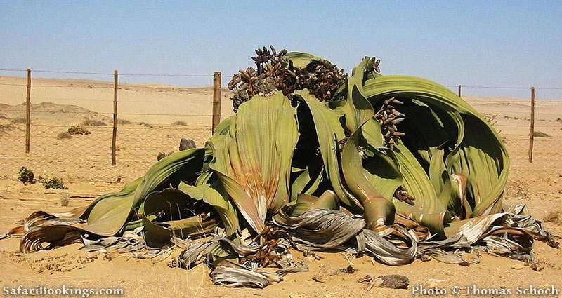 Welwitschia Plant