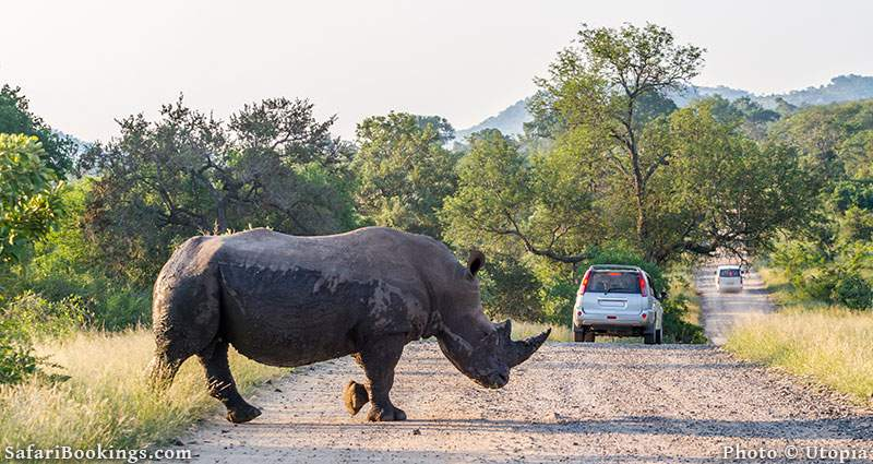Rhino crossing a road with vehicles in Kruger National Park, South Africa