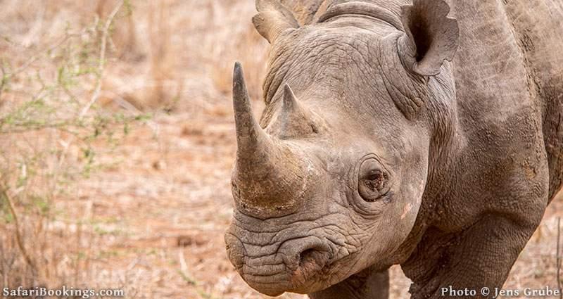 Black rhino portrait. Mkhaya Game Reserve, Swaziland