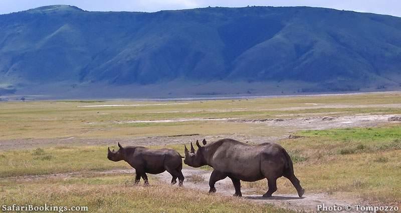 Black rhino with young in Ngorongoro Crater, Tanzania