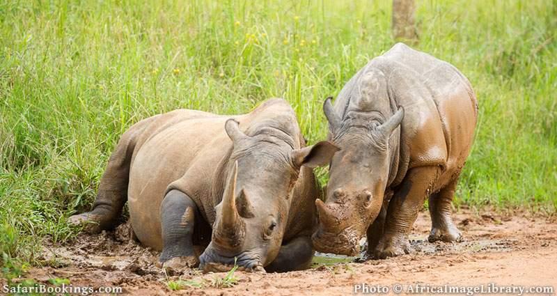 White rhinoceros with young taking a mud bath in Ziwa Rhino Sanctuary, Uganda