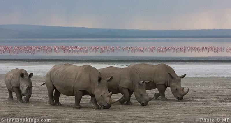 Four rhinos with flamingos in the background. Lake Nakuru National Park, Kenya