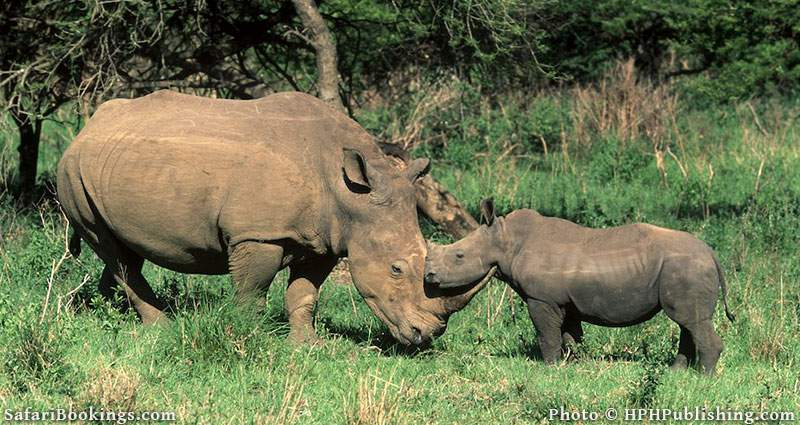 White rhino with young in Hluhluwe_Imfolozi_Game_Reserve, South Africa