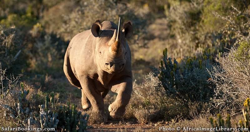 Black rhinoceros charging. Kwandwe Game Reserve, South Africa