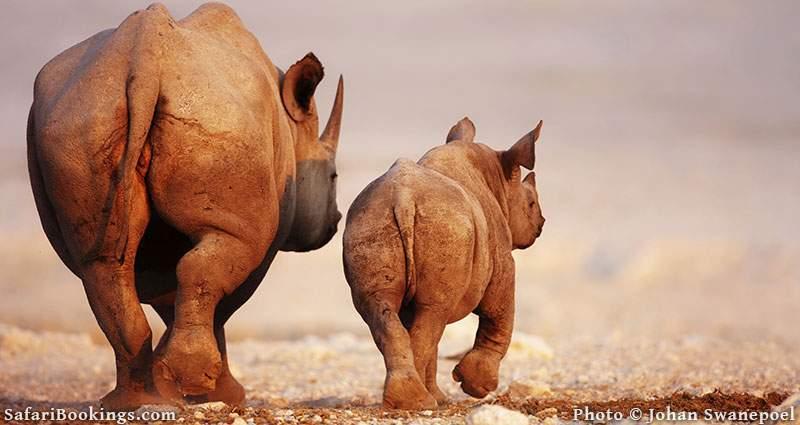 Black rhino with young walking on the flats. Etosha National Park, Namibia