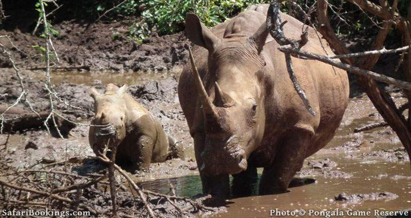 Rhino with calf in Pongala Game Reserve. Zululand, South Africa