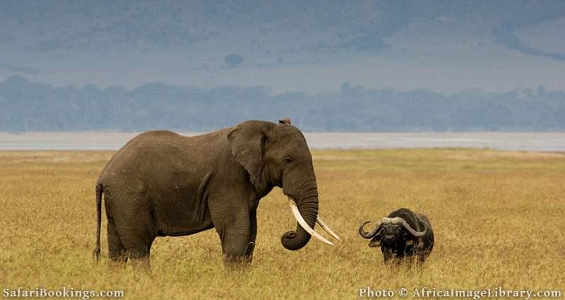 Elephant together with a buffalo at Ngorongoro Crater, Tanzania