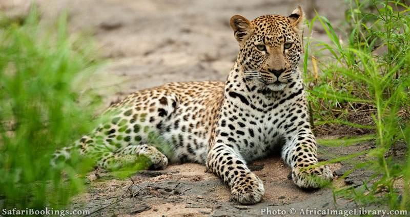Leopard on some rocks at Sabi Sand Game reserve, South Africa
