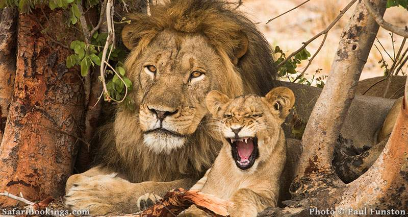 Lion with cub in Hwange National Park in Zimbabwe