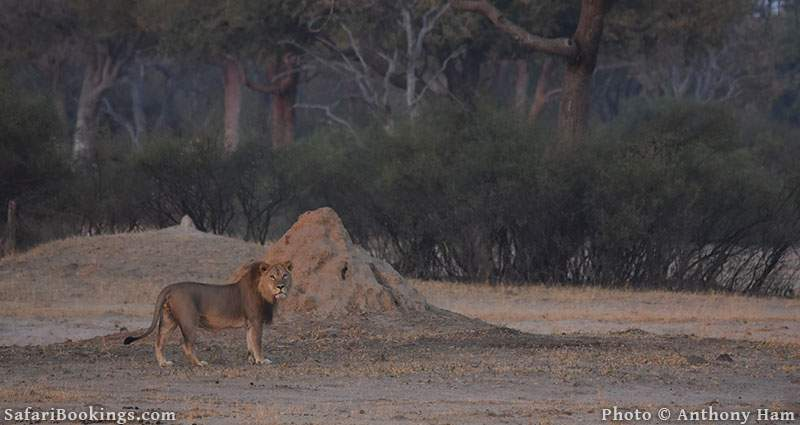Lion Ngqwele at Hwange National Park, Zimbabwe