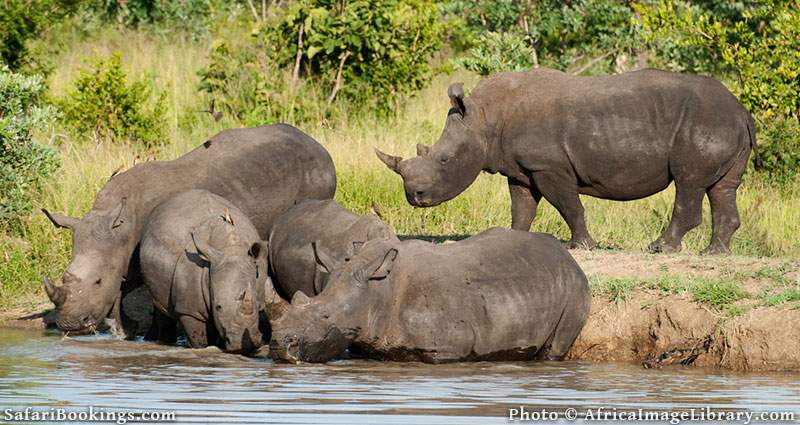 White Rhinos drinking at Kruger National Park, South Africa