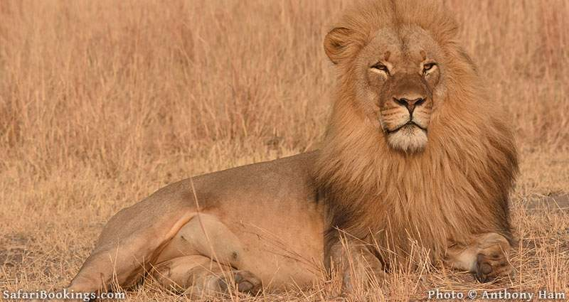 Lion Netsayi in Hwange National Park, Zimbabwe